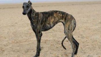 Galgo Español Španielske plemená psov