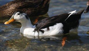 5. Starorýnska strakatá kačica plemien kačiek na produkciu vajec