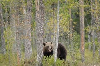 Medved-brtnik