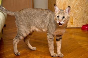 chausie najnebezpečnejších plemien mačiek