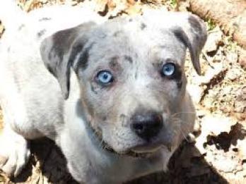 Louisianský leopardí pes s modrými očami  plemien psov s modrými očami