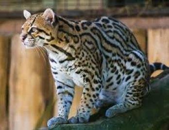 Ocelot veľký najnebezpečnejších plemien mačiek