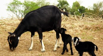 8.Čierna bengálska koza pemien kôz na produkciu mlieka  mäsa