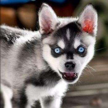 9. Aljašský klee kai s modrými očami plemien psov s modrými očami