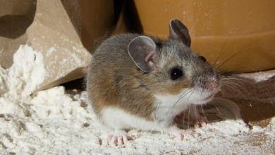 ako sa zbaviť myši v dome a byte
