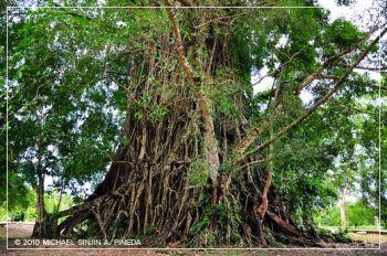 . Strom Balete (Filipíny)