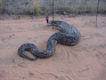 Ametystínový pytón Morelia amethistina Najväčšie hady na svete Najväčší had na svete