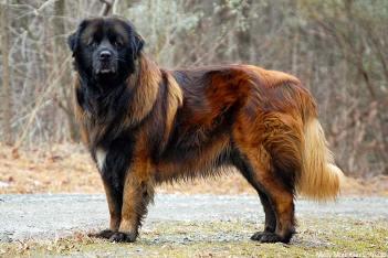 Estrelský pastiersky pes Portugalské plemená psov