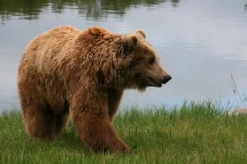 Medveď hnedý Lesné zvieratá Slovensku