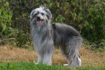 Portugalský ovčiarsky pes Portugalské plemená psov
