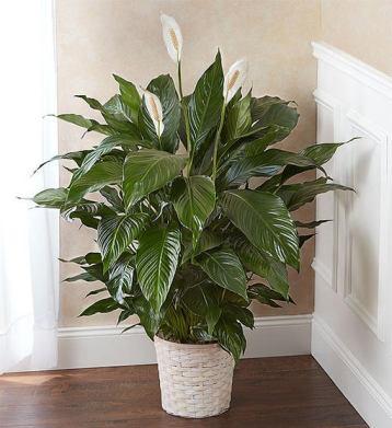 Lopatkovec ( tiež známi ako ľalia ) Rastliny do tieňa