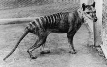 Vakovlk tasmánsky