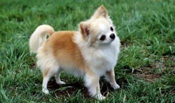 Čivava Najlepší spoločenský pes
