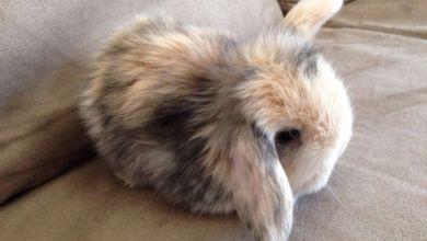 Kašmírový zakrslý králik