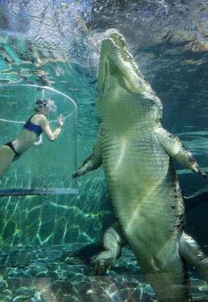 Krokodíl morský najväčší plaz na svete