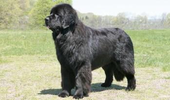 Novofundlandský pes veľké psy