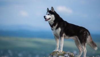 Sibírsky husky Veľké plemená psov