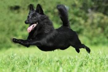 Šiperka Belgicke plemena psov