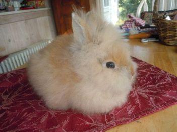 Zakrslý angorský králik