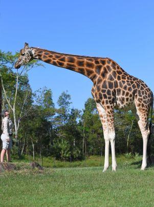 Žirafa najvyššie suchozemské zviera na svete