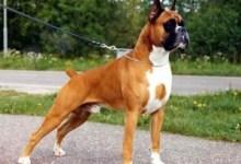 boxer pes