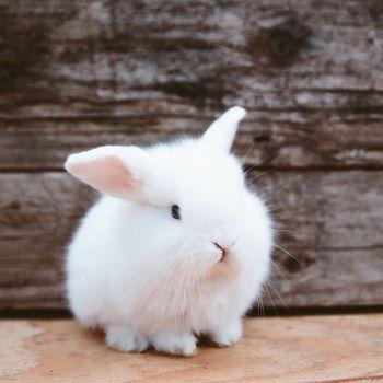 Dejiny domestikovaných zajacov