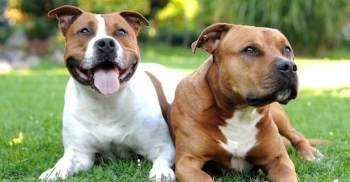 pitbul milujuci pes Pitbull