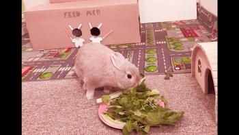 staranie o malé králiky Gravidita u králikov