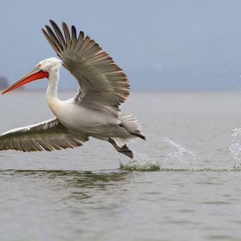 Pelikan kuceravy Najväčší vták na svete