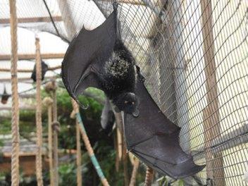 Kaloň komorský Najväčší netopier
