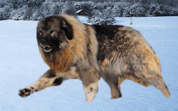 Kaukazský ovčiak rusky pes