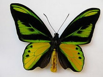 Troides prattorum ( 20 cm ) Najväčší motýľ