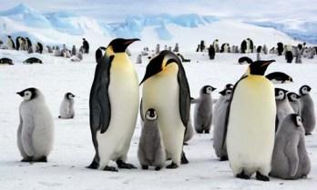 Tučniak obrovský ( Tučniaky cisárske ) najväčšie vtáky na svete