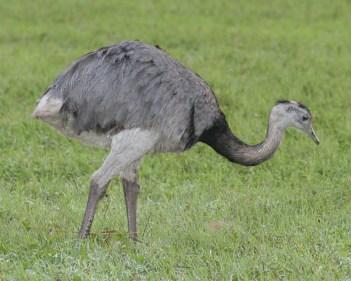 Nandu pampový najväčšie vtáky na svete
