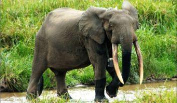 Slon pralesný