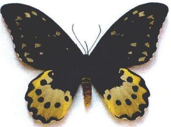 Ornithoptera chimaera ( 19 cm ) Najväčší motýľ