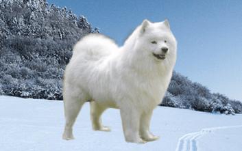 amojed Ruske plemena psov