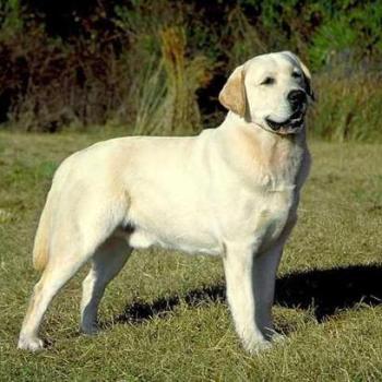 Labradorský retríver plemena psov pre prvých majiteľov