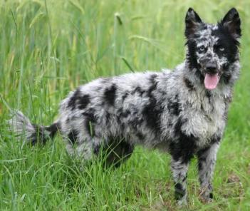 Mudi Maďarské plemena psov psy