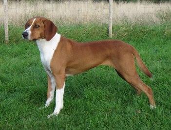 Rakúsky pinč Rakúske psy rakúske plemena psov
