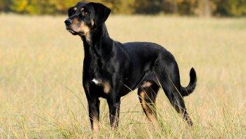 Sedmohradský kopov Maďarské plemena psov psy