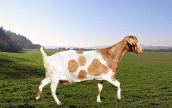 alpinska koza