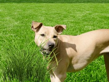 prečo pes žerie trávu