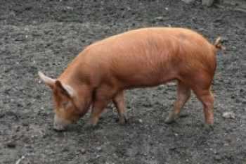 Tamworth Plemená mäsových ošípaných