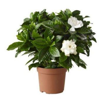 Rastliny do kúpeľne Gardenia jasminoides
