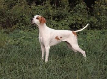 Pointer pes Plemena psov vhodné do veľkej záhrady