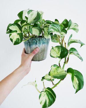 Rastliny do kúpeľne Potosovec zlatý