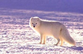 Polárne zvieratá Arktická Líška