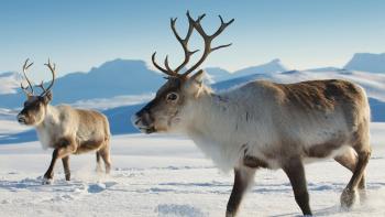 Polárne zvieratá Sob arktický