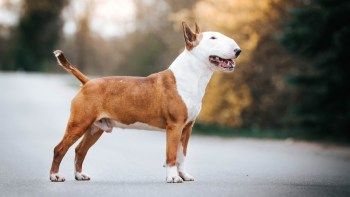 Anglický bulteriér pes